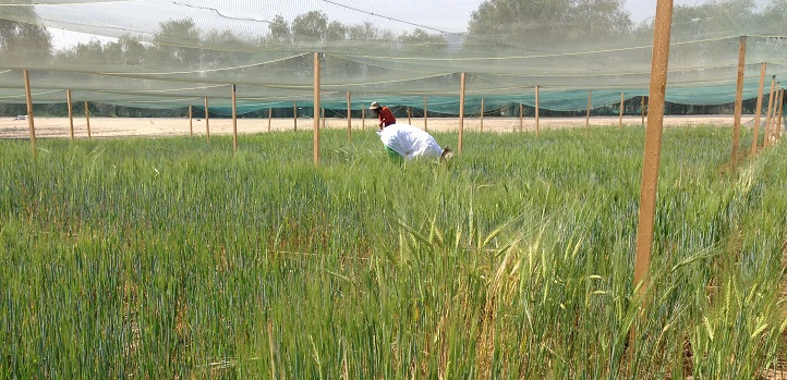 KAUST CEMSE ES STAT AMCS Plant Scientists Collect Data From The Barley Plants