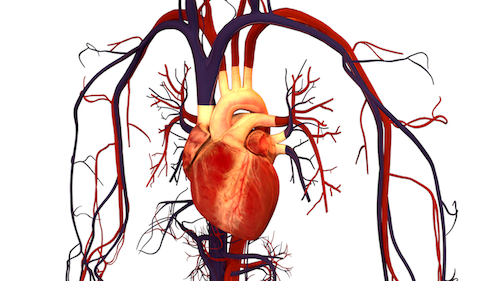 Human_Heart_and_Circulatory_System