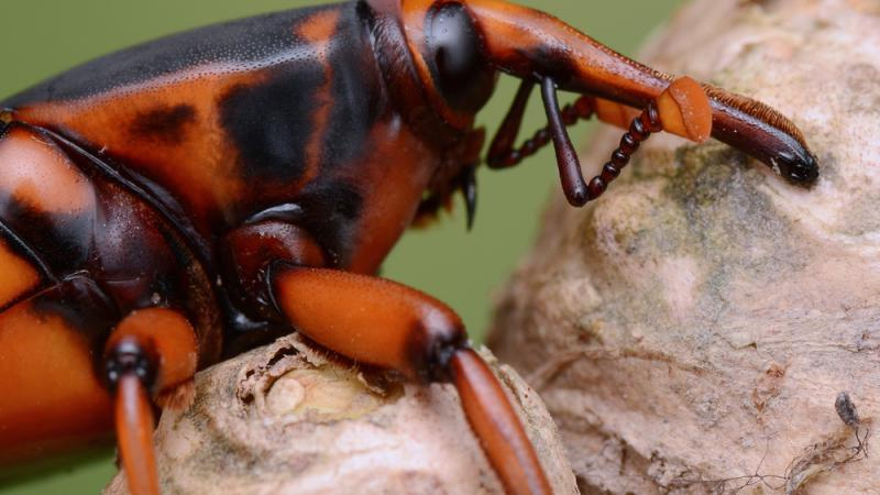 red-palm-weevil-KAUST-sensors-CEMSE-Khaled-Salama