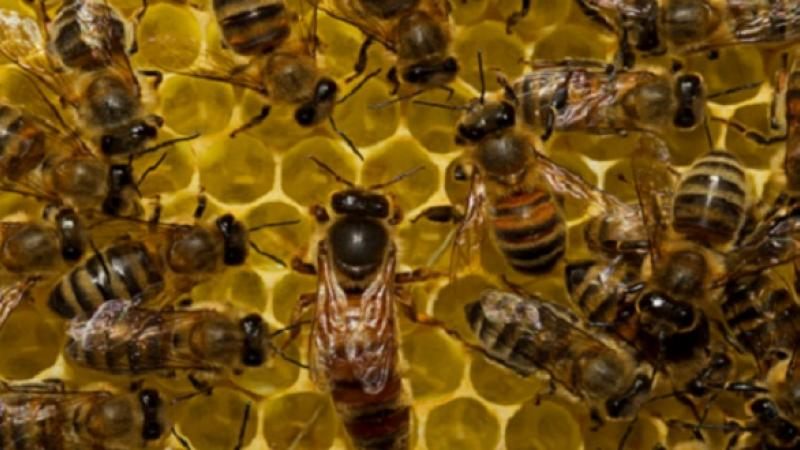 CEMSE AMCS Honey Bee Behavior Is In The Genes