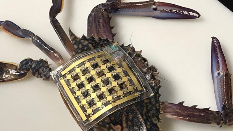 CEMSE EE Flexible Electronic patch recorded crab's Movements