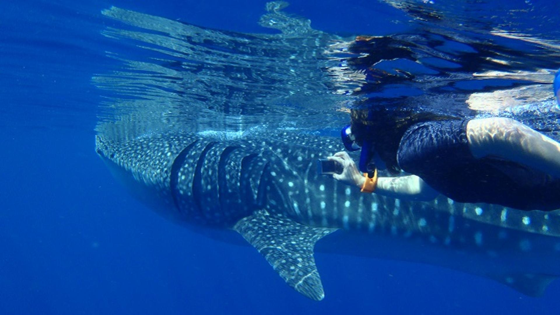 CEMSE AMCS MARS Juvenile Whale Sharks Have Been Discovered Gathering At A Coral Reef